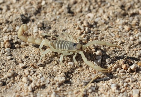 giant-hairy-scorpion-1340312_640